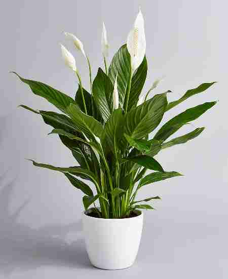 Peace Lily Plant in Ceramic Pot Phulero Dola Ottawa
